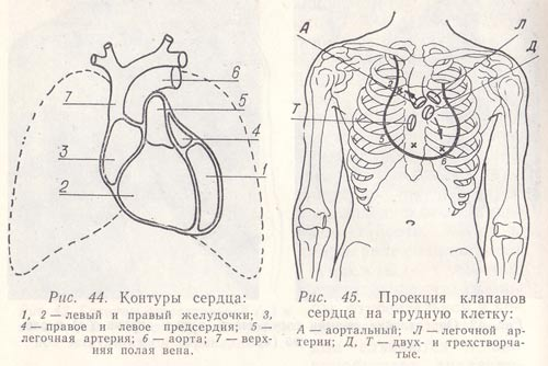 Проекция клапанов сердца на грудную клетку