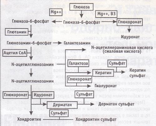 образование галактозамина, N-ацетилгликозамина и хондроитин сульфата
